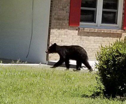 Danville Police receive bear calls