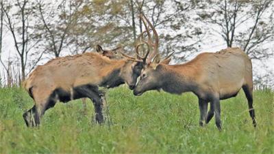 Elk restoration moving forward in Buchanan County