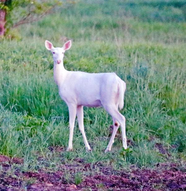 White whitetail