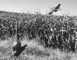 More than 100 000 pheasants raised and released outdoors for Mass fish stocking