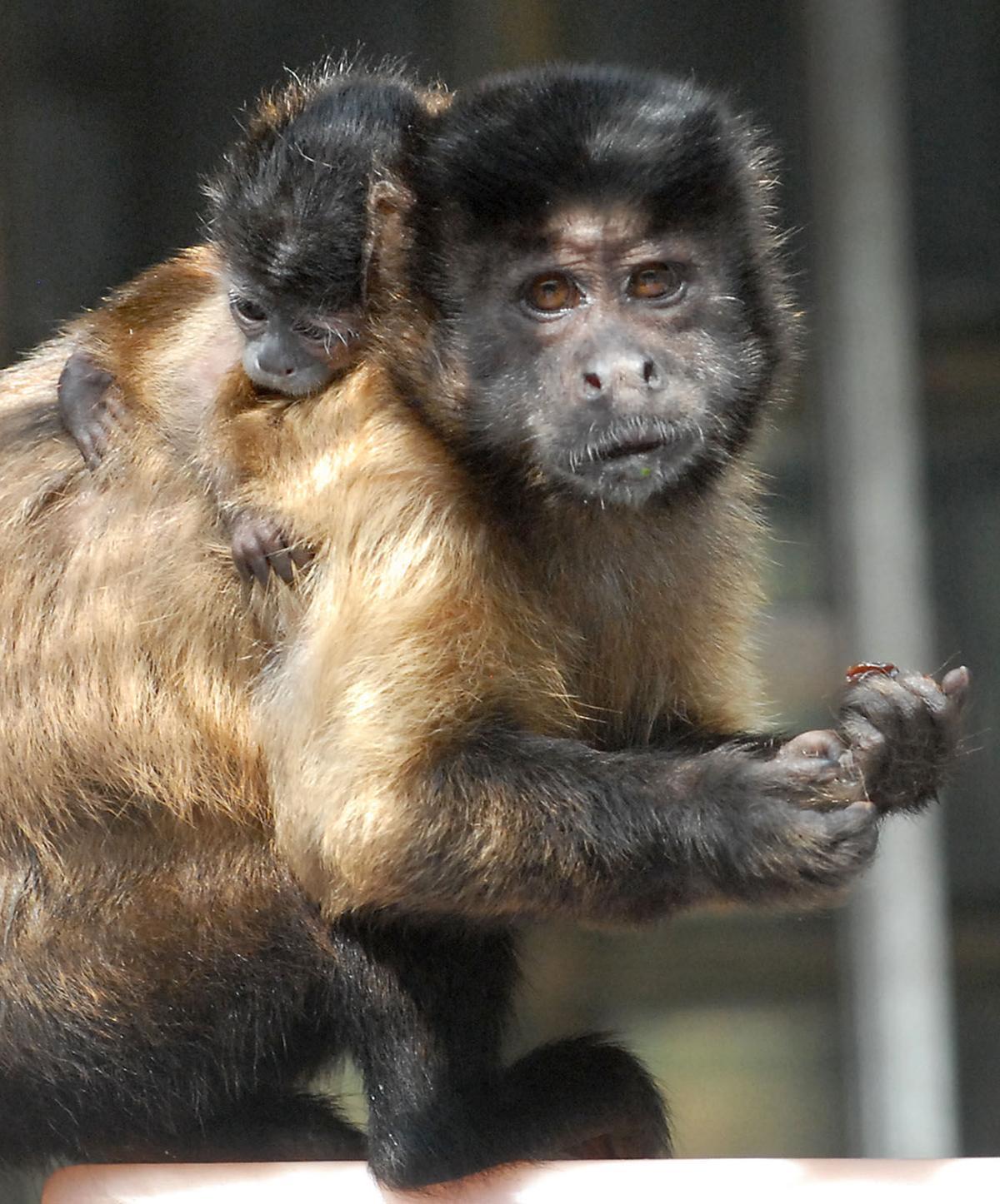 Capuchin Monkey Birth