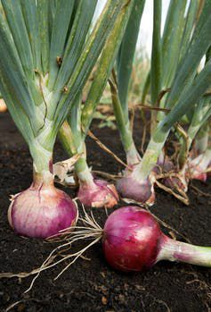 Red onion plants