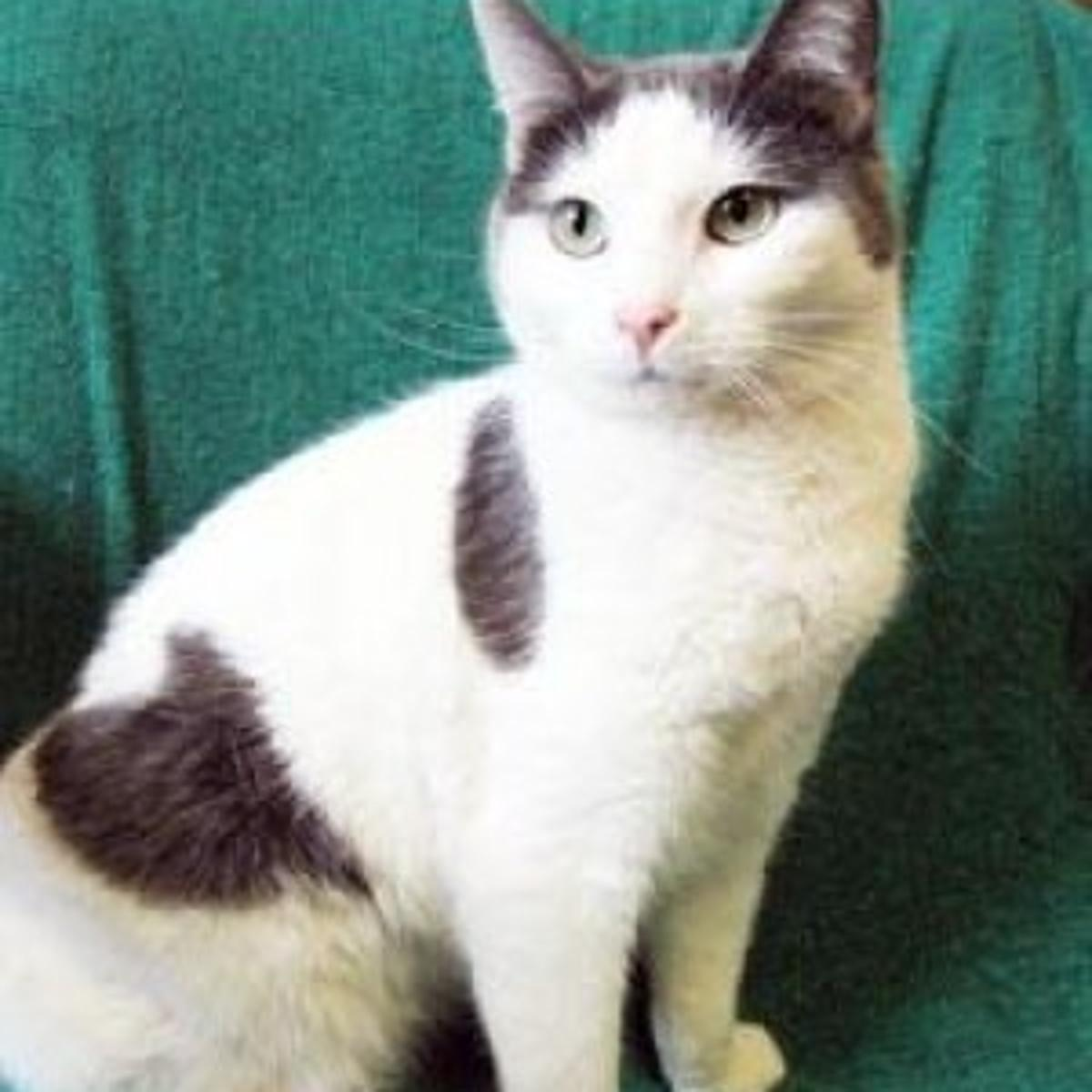 Peanut Is A 1 Year Old Grey And White Domestic Shorthair Cat That Arrived At The Dunn County Humane Society Dchs As A Stray In August She Has A Great Personality And Is A Very Friendly