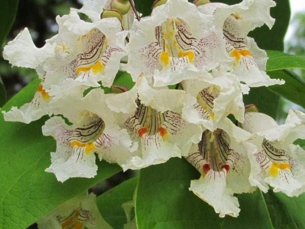 Catalpa a showy fast growing ornamental tree home and garden catalpa tree blooms mightylinksfo