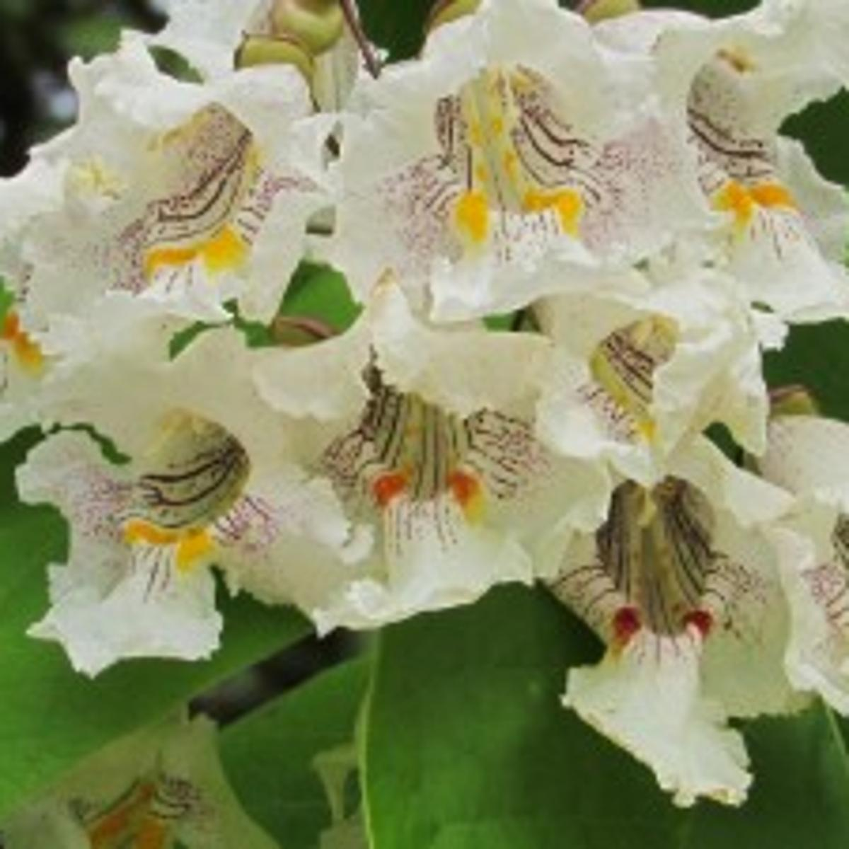Catalpa A Showy Fast Growing Ornamental Tree Home And Garden