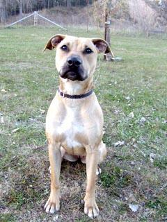Bambi is a two-year-old American Staffordshire Terrier