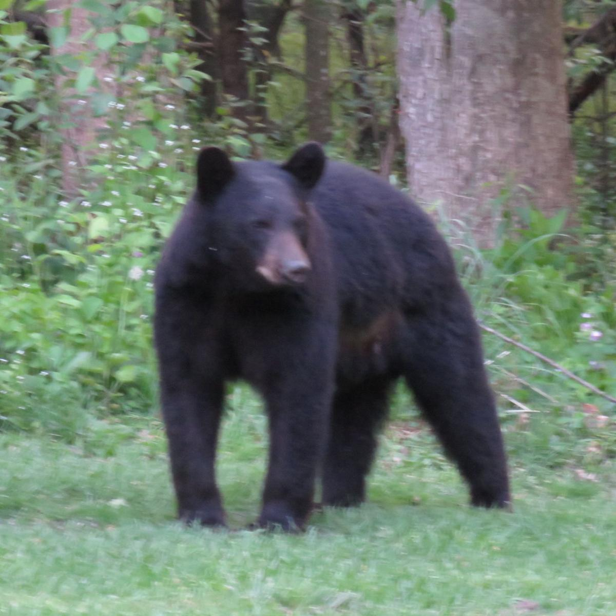 black bear sighted on chippewa falls u0027 west hill local chippewa com