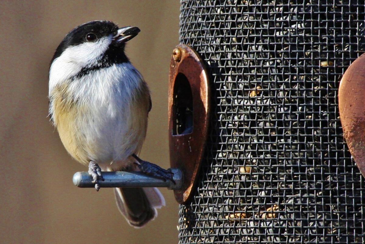 Chickadee eats at feeder