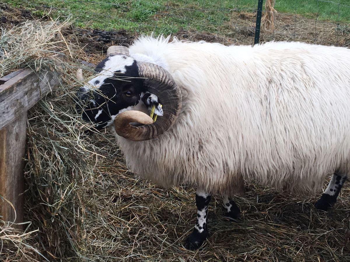 Fergus the ram