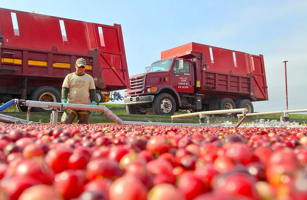 A sea of cranberries