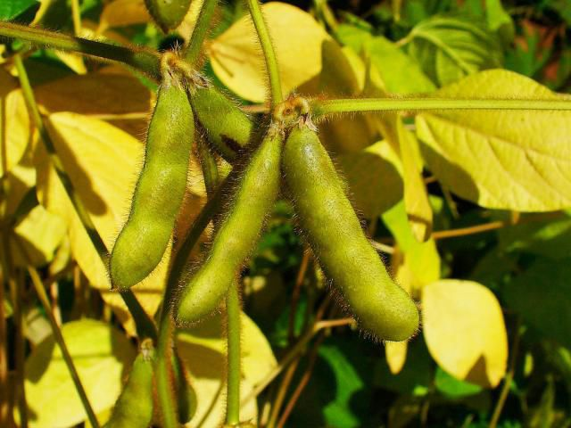 Soybeans turning color