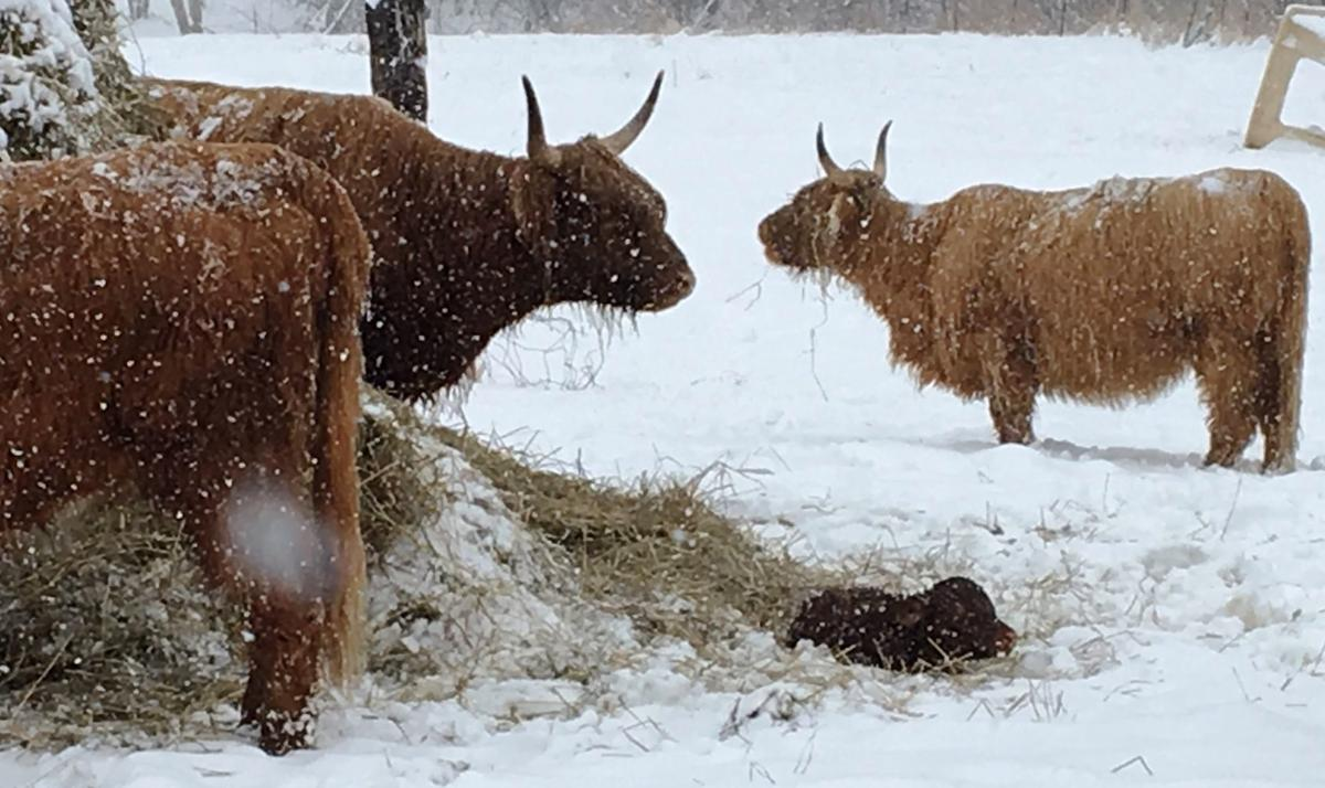 Scottish Highlander cows and calf in snow
