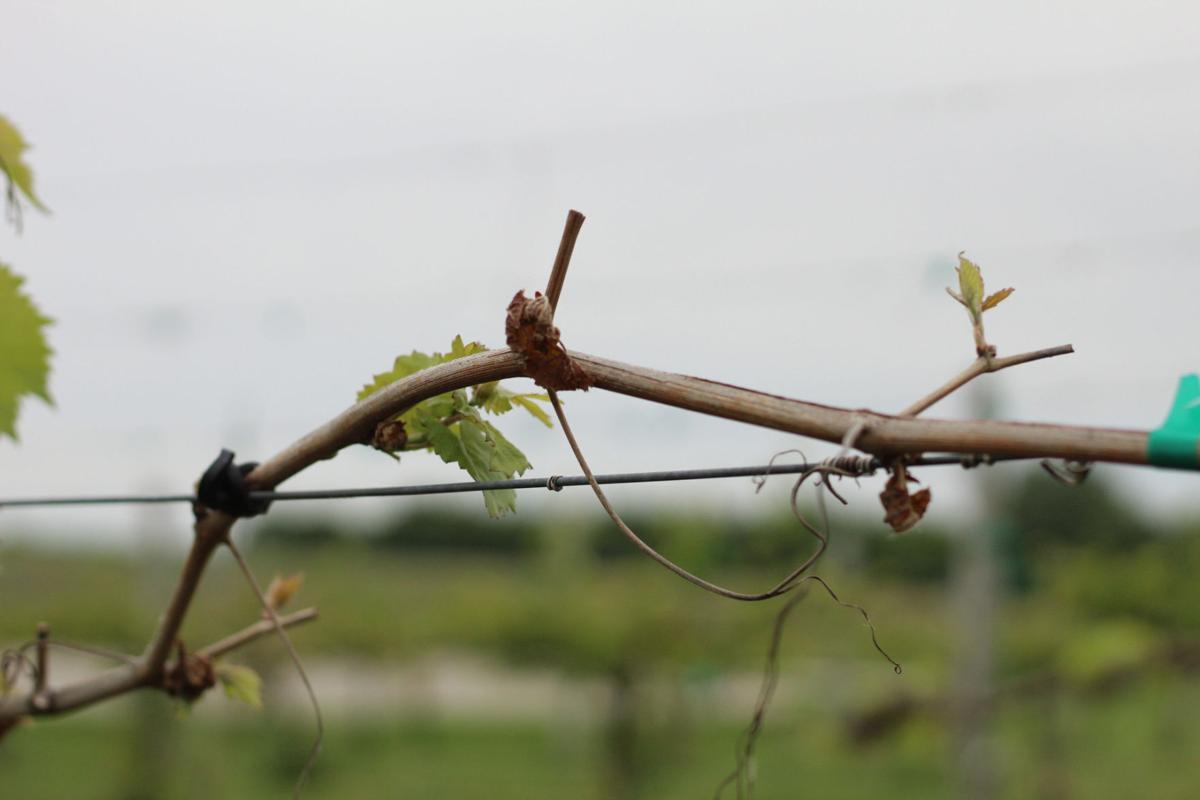 Dead Brianna Grape Buds