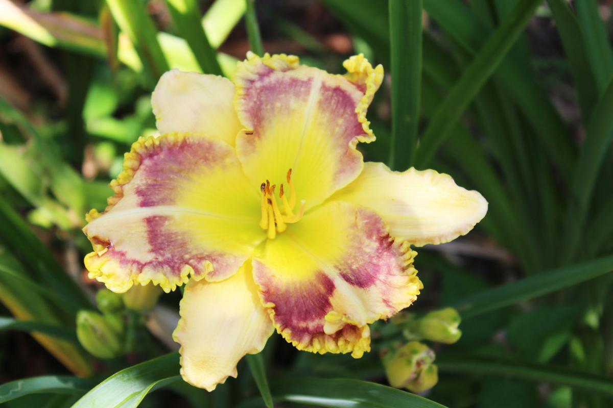 The Daylily Man: Returned Claremore native shares a lifetime of memories in thousands of blooms