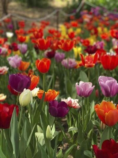 GROW: Fall is the time to plant spring flowering bulbs