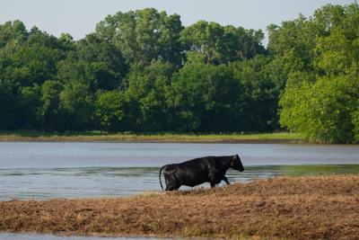 ng in Oklahoma in 2019Cattle producers should watch for signs of blackleg and anthrax after floodwaters recede