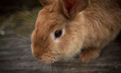 All rabbit exhibitions banned in Oklahoma for 90 days