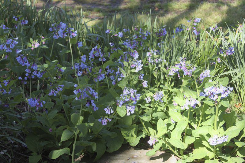 All the Dirt on Gardening: Mertensia virginica are Native Bluebells