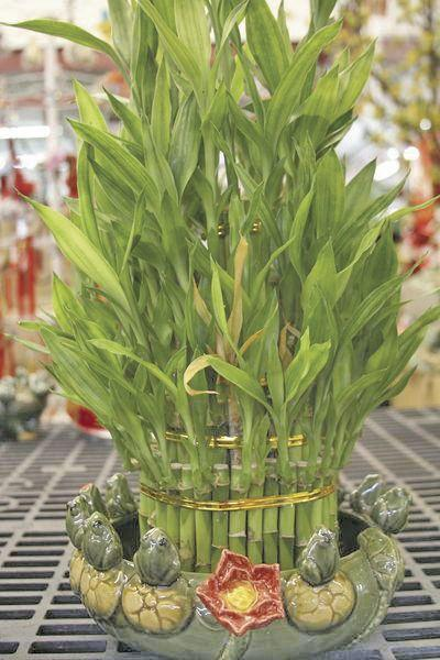 All the Dirt on Gardening: Lucky bamboo easy to grow