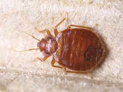 Avoiding Bed Bugs Over Spring Break Travel News