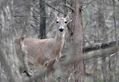 State's Most-Popular Deer Hunting Season opening soon