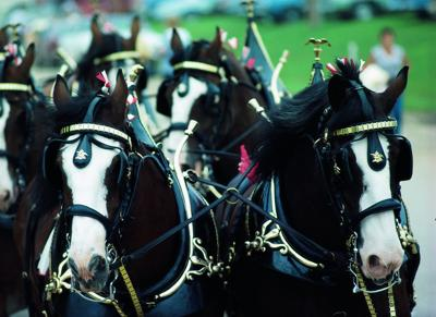 Budweiser Clydesdales to appear at Cherokee Casino Will Rogers Downs