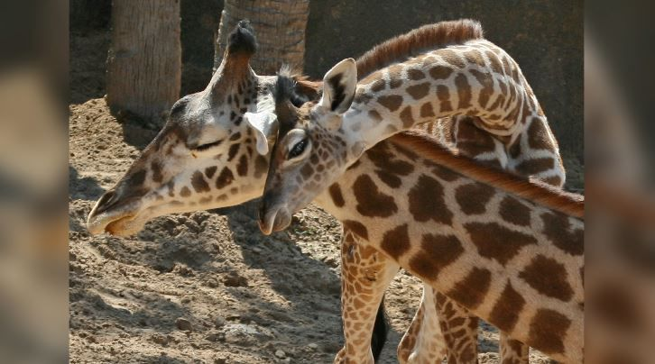 Viral sensation April the giraffe may be pregnant again