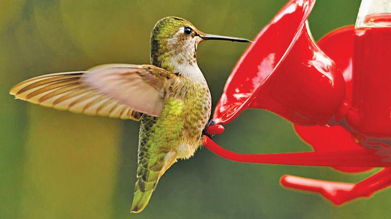 Hummingbird Season Arriving In Oklahoma News Claremoreprogress Com