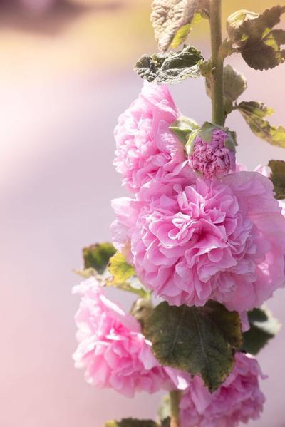 GARDENING WITH MICKI: Colors brighten fall gardens