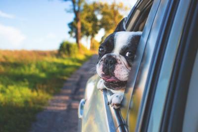 Car window dog