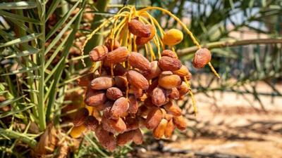 Dates growing on Hannah, a tree germinated from ancient seeds in Israel.