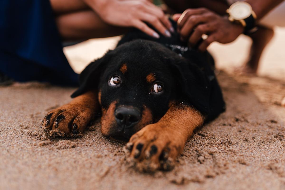 Stock dog pet