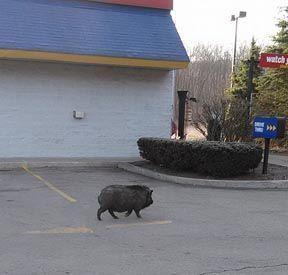 Pig at Burger King