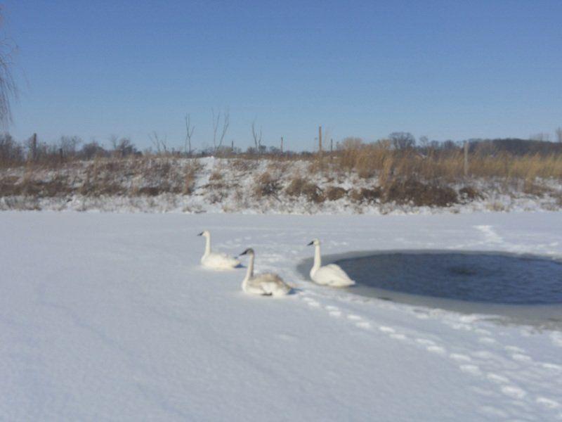 New swan comes to Hurstville