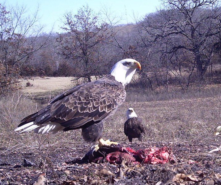 Lead exposure and bald eagles examined