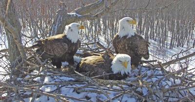 GREEN SCENE: Eagle trio continue to draw admirers