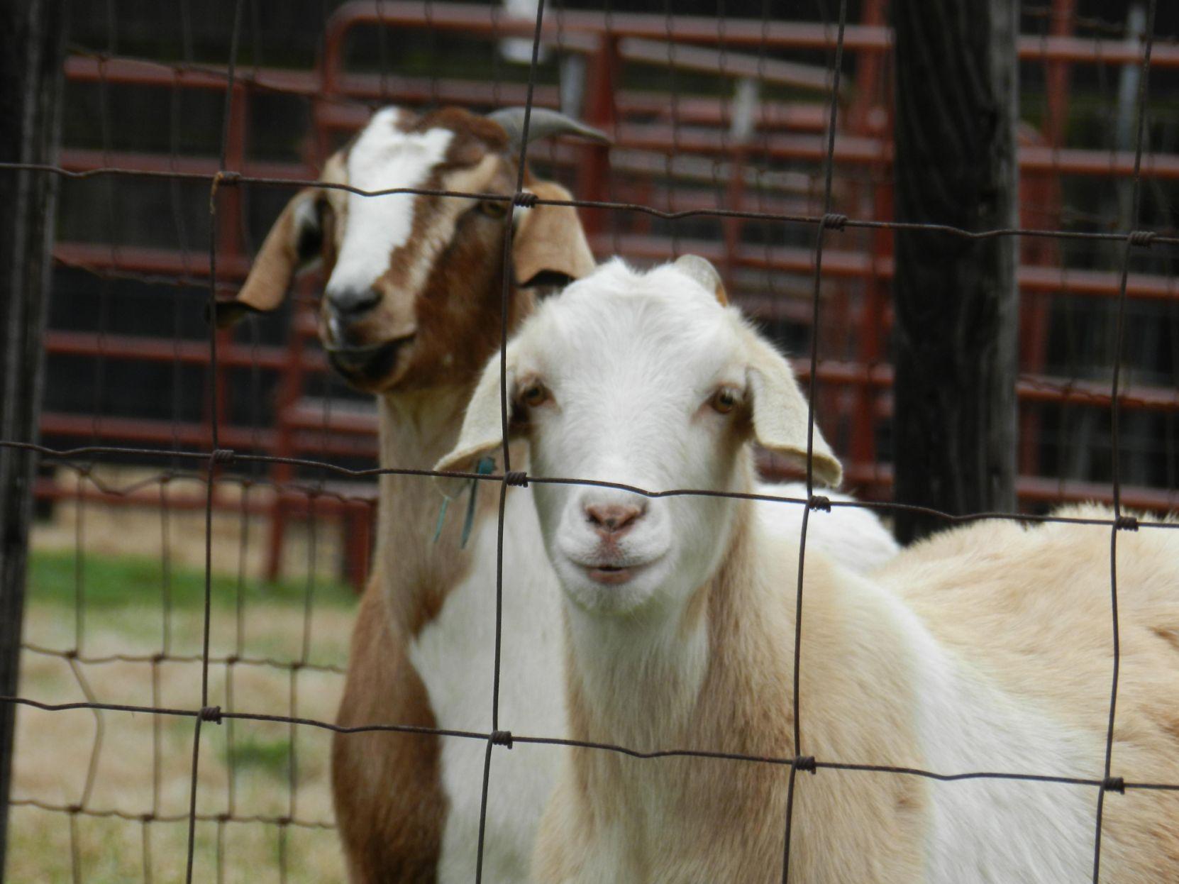 elkmont goat farm essay