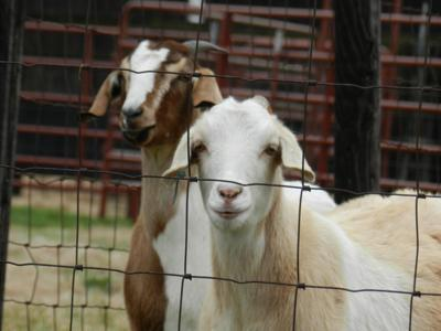 Essay contest that promised winner a goat farm yields no victor