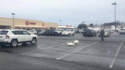 Mall-loving swans freak out Danvers shoppers