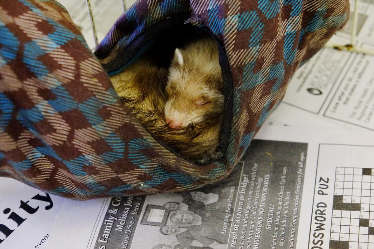 Facebook tips help police track down ferret thieves   News