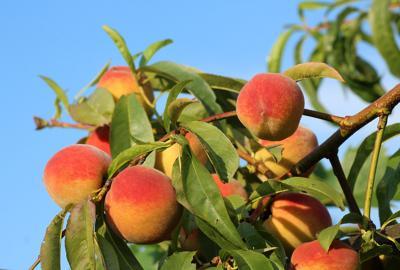 peaches-3540394.jpg