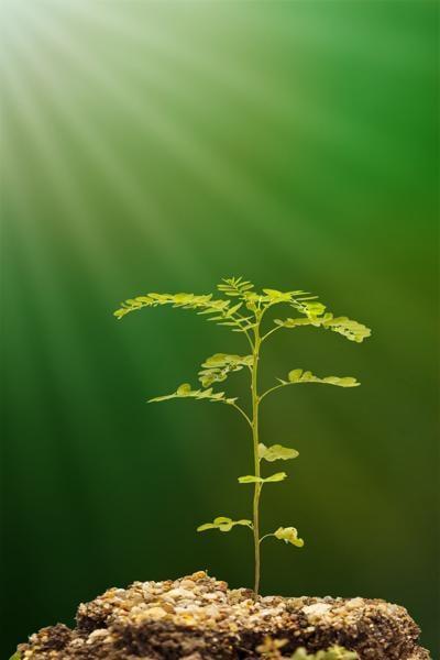 Chamber bitter (Phyllanthus urinaria) plant