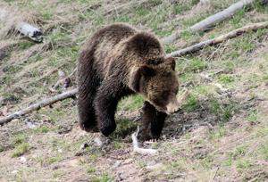 What does recovery mean for grizzlies?