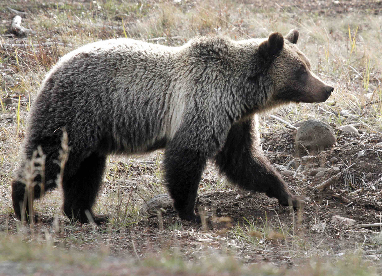 Lawsuit Filed Challenging Delisting of Yellowstone Grizzlies