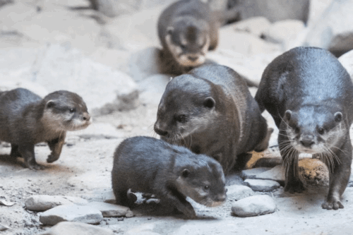 Cleveland Zoo's Otter Pups Are The Cutest Explorers