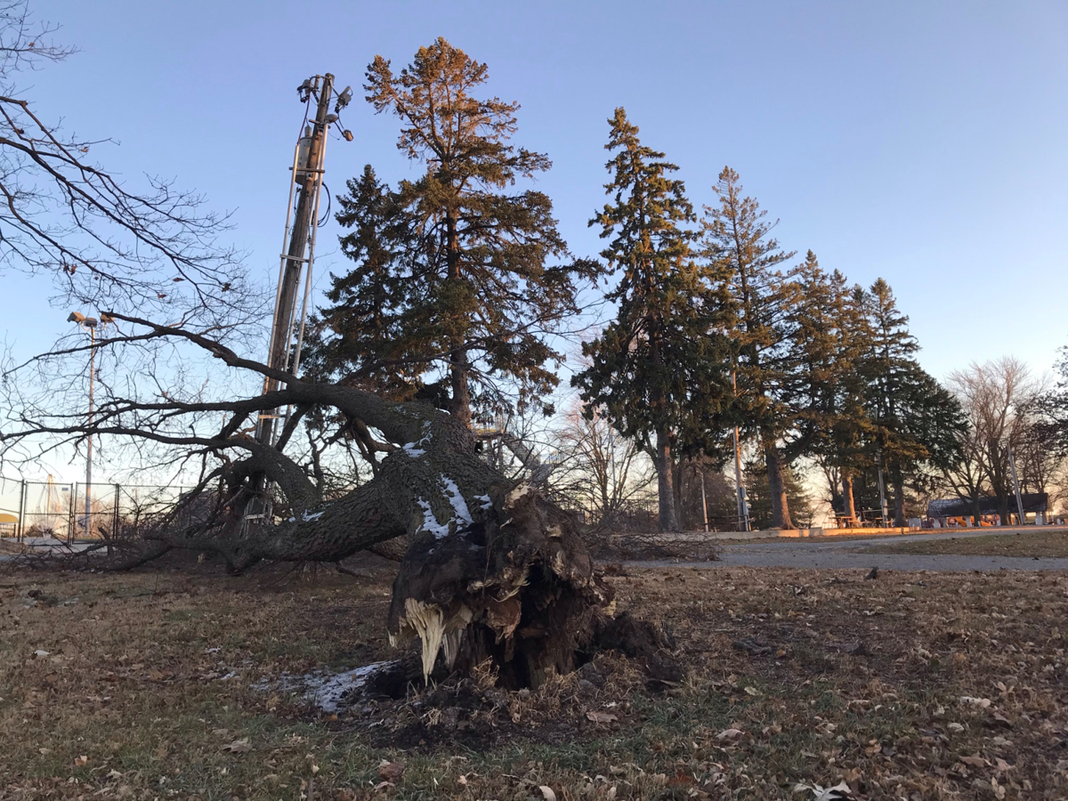 Uprooted tree in David City Park