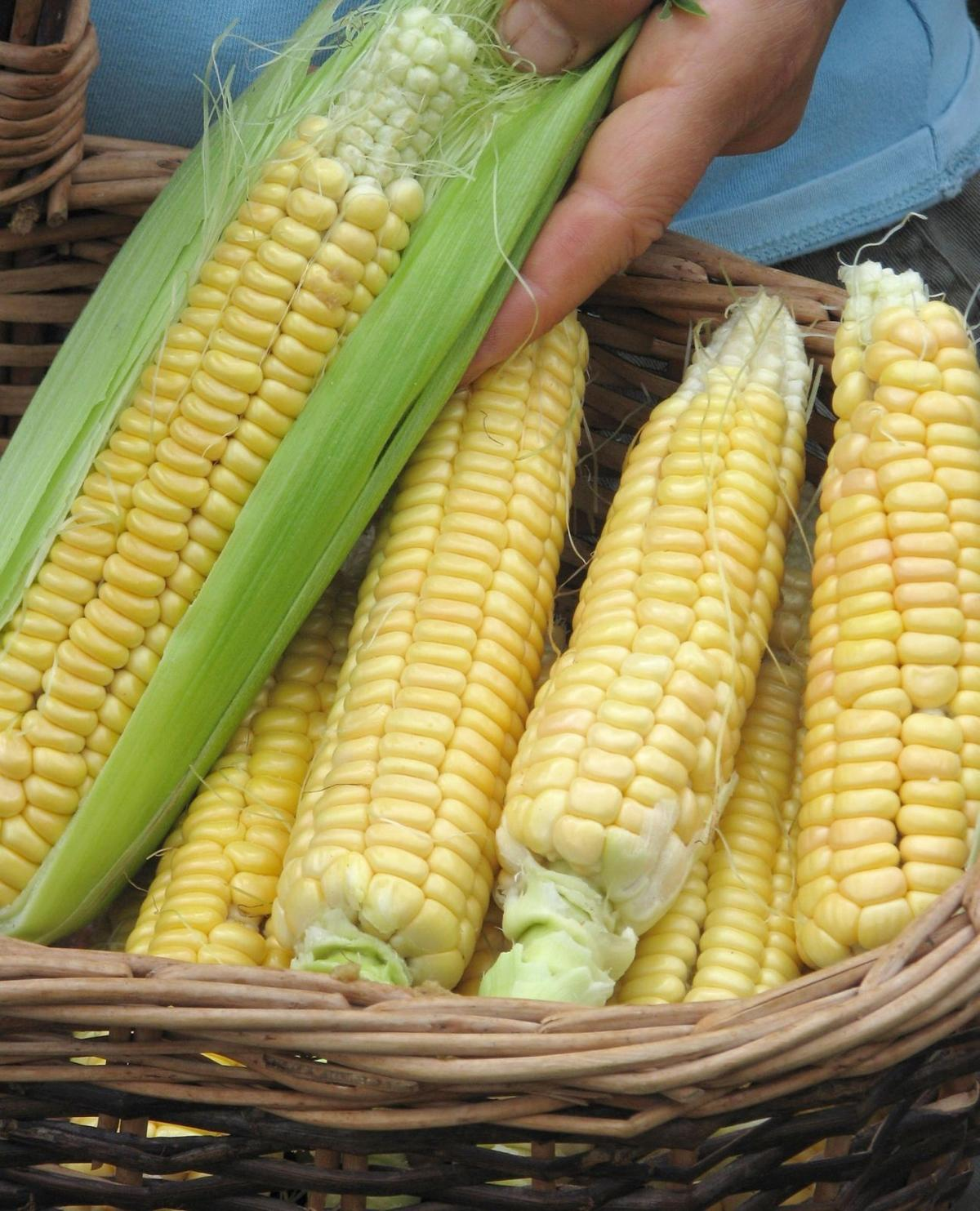 Sweet corn, AP photo