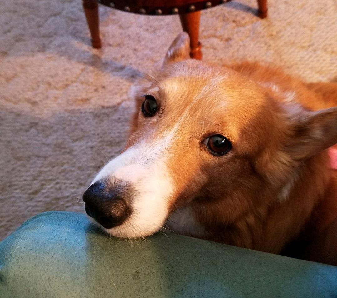 Corgi Rescued From Nebraska Puppy Mill