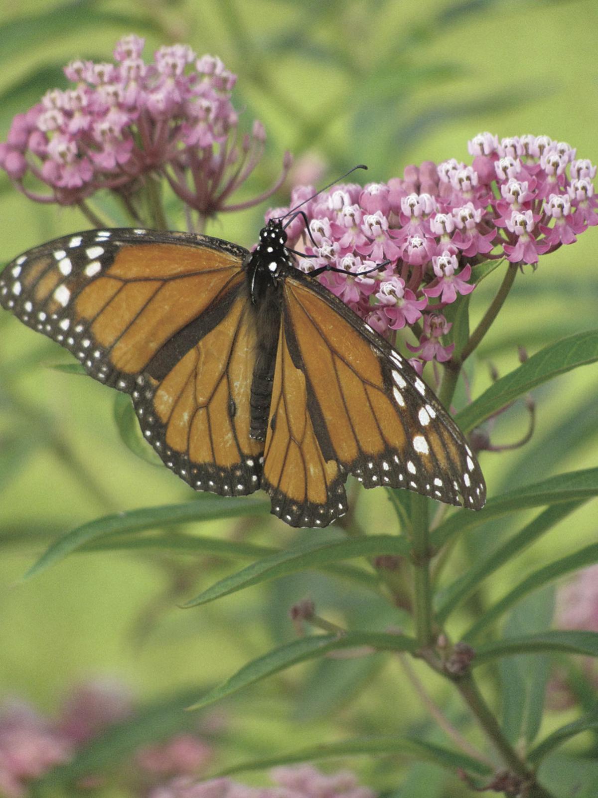Monarch on swamp milkweed