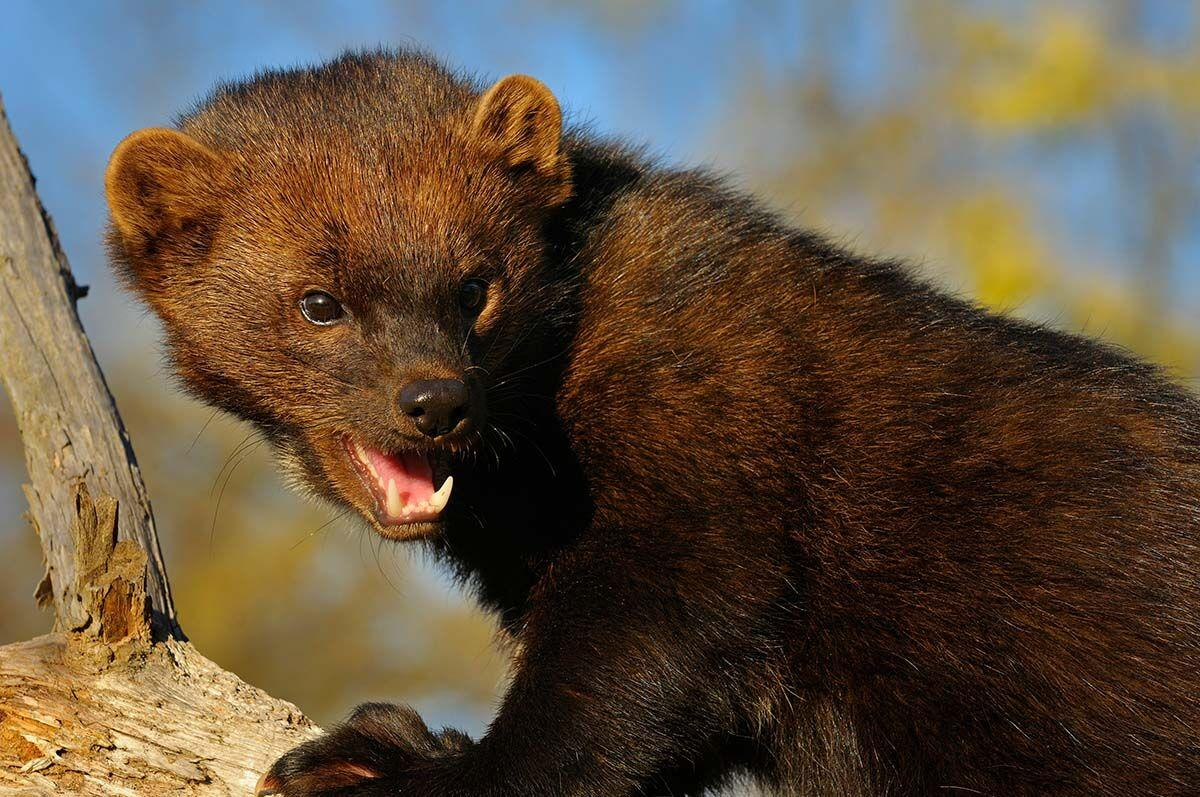 Close,Up,Face,Of,North,American,Marten,Looking,Back,Showing